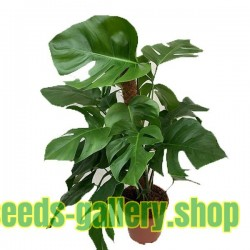 File Monstera Deliciosa Swiss Cheese Plant - Year of Clean Water