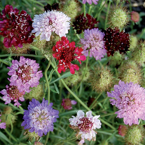 Flower Seeds Heirloom Organic NonGMO Seed Savers