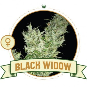black-widow-feminized