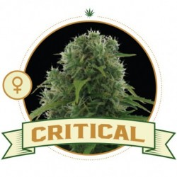 critical-semi-femminizzati-city-seeds-bank