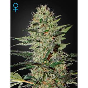 auto-exodus-cheese-green-house-seeds-Img_Principale_31795
