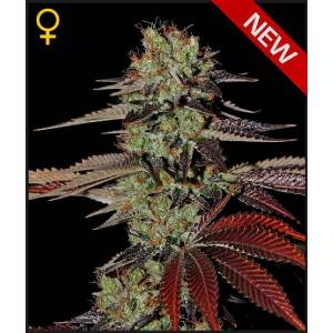 auto-kings-kush-green-house-
