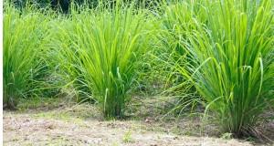 Lemon Grass-Saira