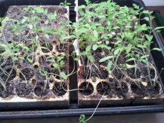 5 Tips for Growing Tomatoes From Seed