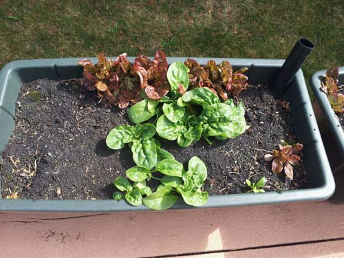 self seeding plants
