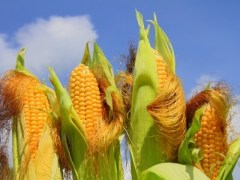 Are Hybrid and GMO Seeds the Same?