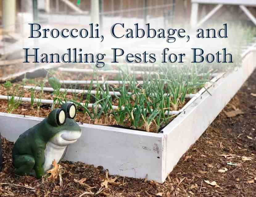 broccoli cabbage title