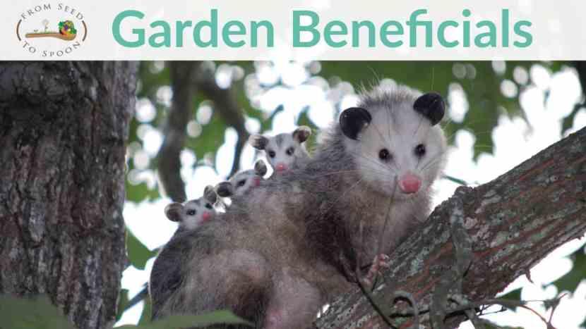 Opossums blog post