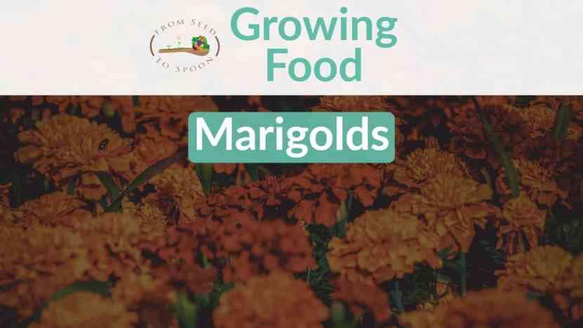 Marigolds blog post