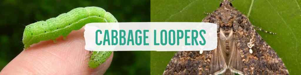 cabbageloopers-header