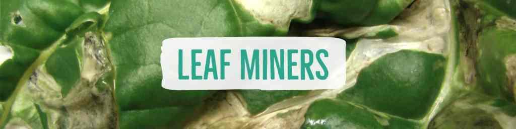 leafminers-header