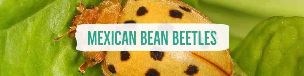 mexicanbeanbeetles-header