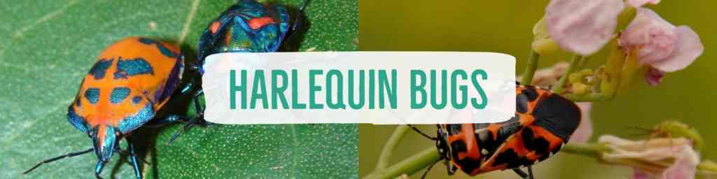harlequinbug-header