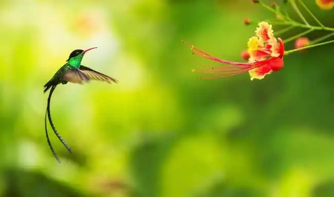 doctor hummingbird the national bird of jamaica