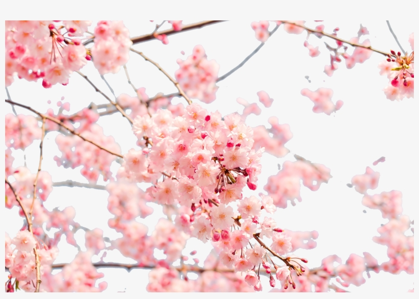 Japanese Blossom Wallpaper Cherry Blossom Wallpaper 4k Png Image Transparent Png Free Download On Seekpng