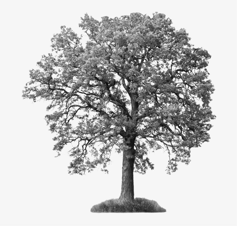 Tree Png White Ash Tree 677 702 A A A Ash Tree Black And White Png Image Transparent Png Free Download On Seekpng