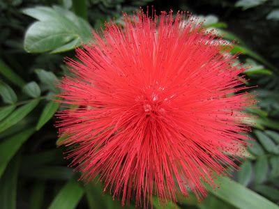 紅絨球美麗的花蕊 - 園藝 - SeeWide 香港特搜