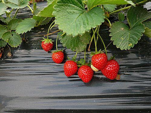 士多啤梨園@元朗 - 摘草莓 - SeeWide