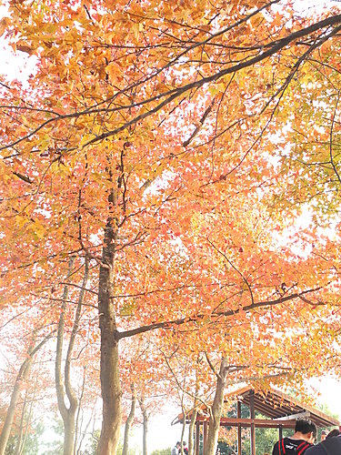 元朗大棠紅葉 賞葉 - 特色景點.郊遊