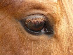 occhio-cavallo-5582bebf