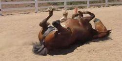horse_rolls-116830e2