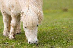 shetland-pony-164902_640-b0fe73fb