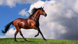 arabian-horse-1600x900-1dc0d5ae