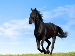 cavallo-nero-jpg-67b92453