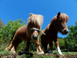 shetland-ponies-357754_1280-cc9a9952