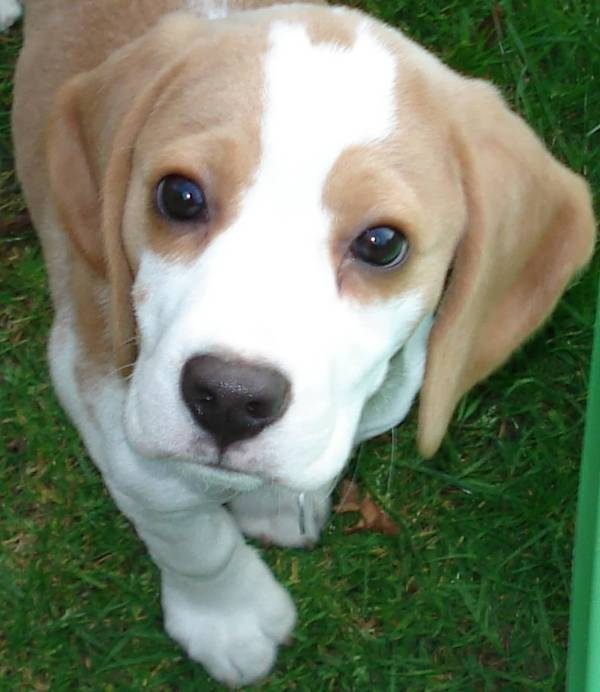 Miniature Beagle Dogs And Puppies - Segerios