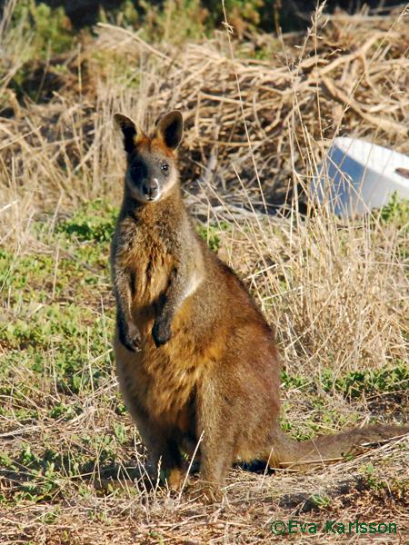 kanguru_sitt