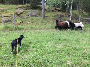 Bernie har börjat tända på fåren. Han tycker att hörnet är en bra plats för dem att stå på. Den så kallade träningen går ut på att vi går efter fåren med (slak) lina på. Försöker hjälpa honom få in rätta känslan för hur får fungerar. Släpper inte runt honom förrän jag ser att han kommer klara det på ett bra sätt. Än så länge är han för liten och jag vill inte ha massa spring och jakt. Han ser inte ut att vansläktas :)