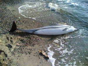 Boom di delfini morti sulle spiagge per cause misteriose