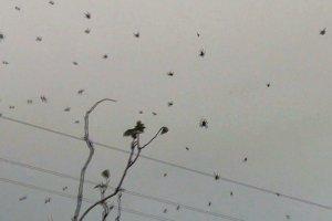Brasile: migliaia di ragni piovono dal cielo