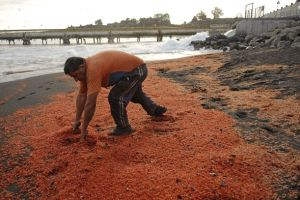 Cile: ecatombe di gamberi e granchi