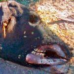 Tornano le misteriose mutilazioni animali in Argentina