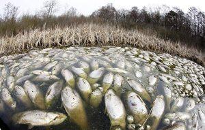 Tonnellate di pesci morti galleggiano in un lago tedesco, un enigma per gli esperti