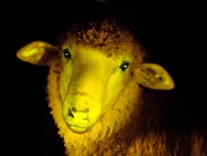 Uruguay, ecco gli agnelli transgenici fosforescenti