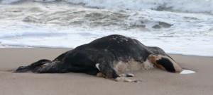 Scoperte sulle spiagge della Svezia carcasse di mucche mutilate