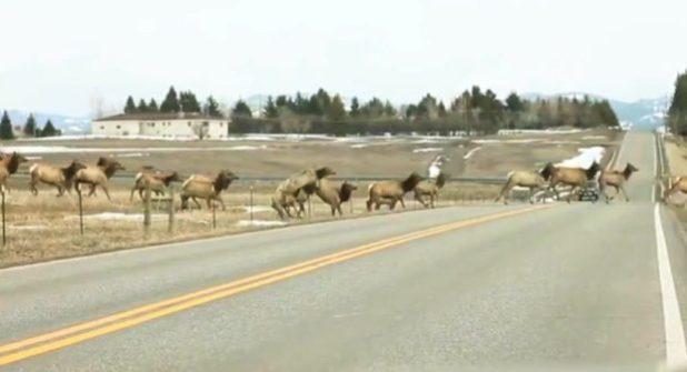 Dopo i bufali anche le antilocapre fuggono dal parco dello Yellowstone