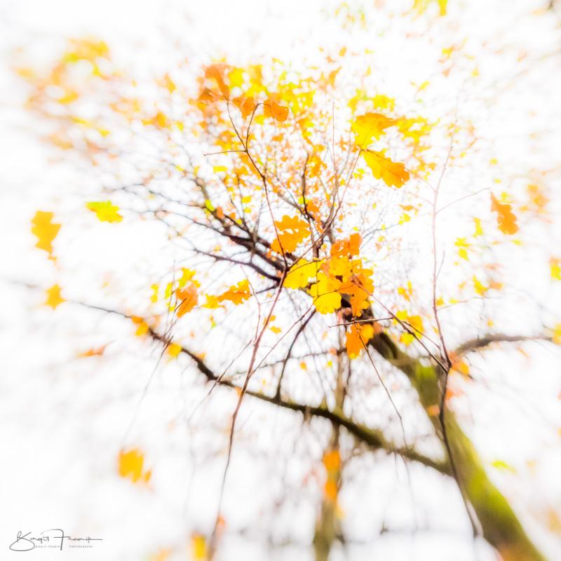 Birke im Herbst - Himmel überstrahlt, wenige, gelbe Blätter - Unschärfe durch Lensbaby