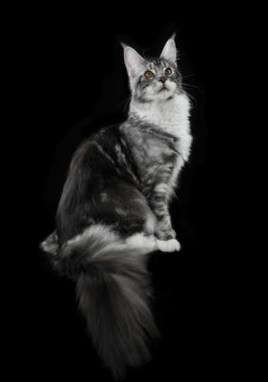 unnamed MAINE COON