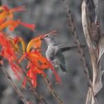 Kolibrit – Rakkauden ja ilon symbolilinnut