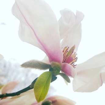 天上の舞の稽古や こぶし咲く