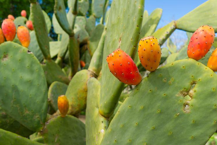 il cactus ti aiuta a perdere peso