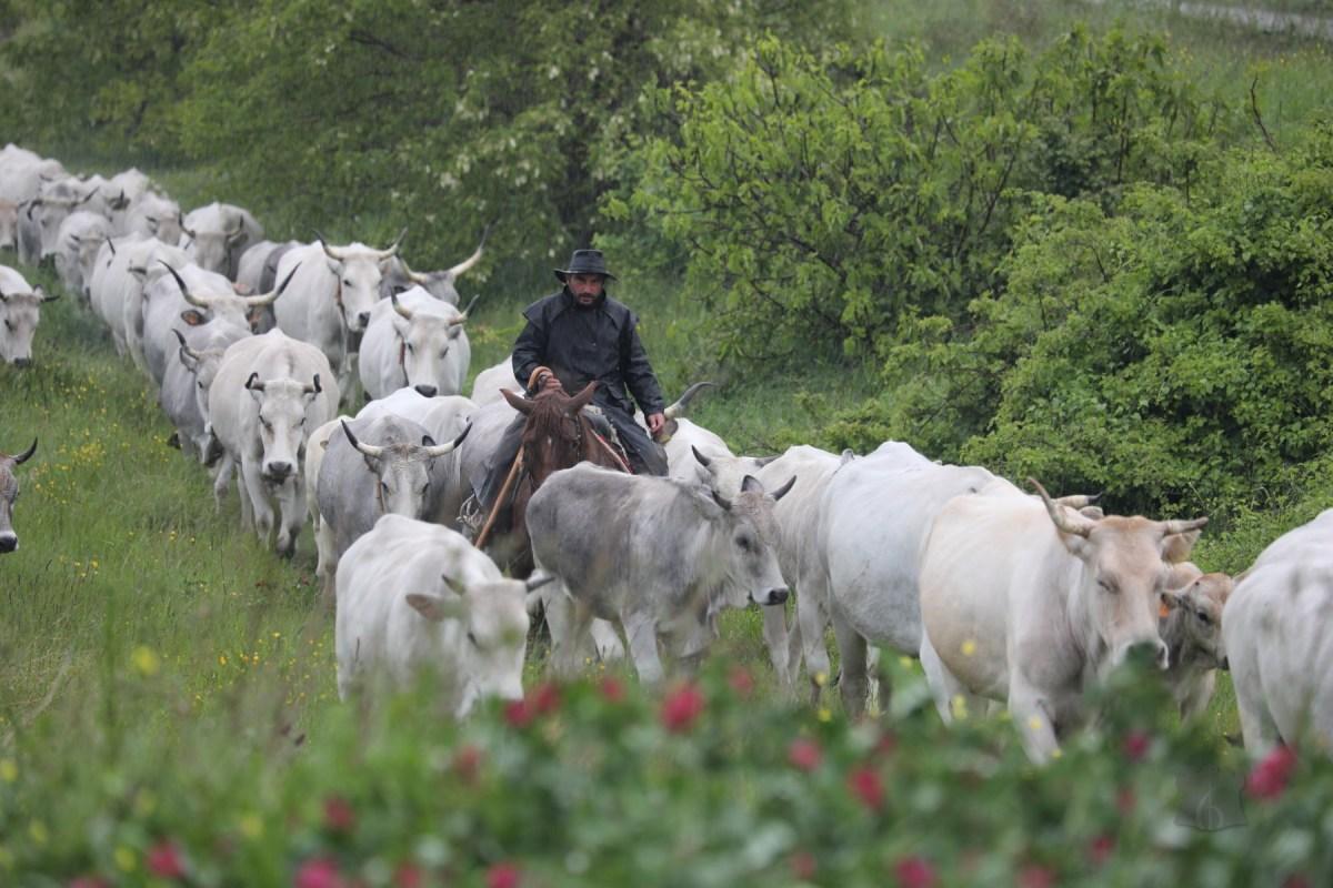 La pioggia battente non ferma la Transumanza. I trecento capi della famiglia Colantuono in marcia verso l'arrivo (GALLERY)