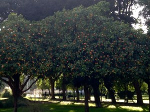 orange trees in a park filled with oranges