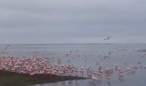 Dozens of pink flamingos wade in water and fly in the sky
