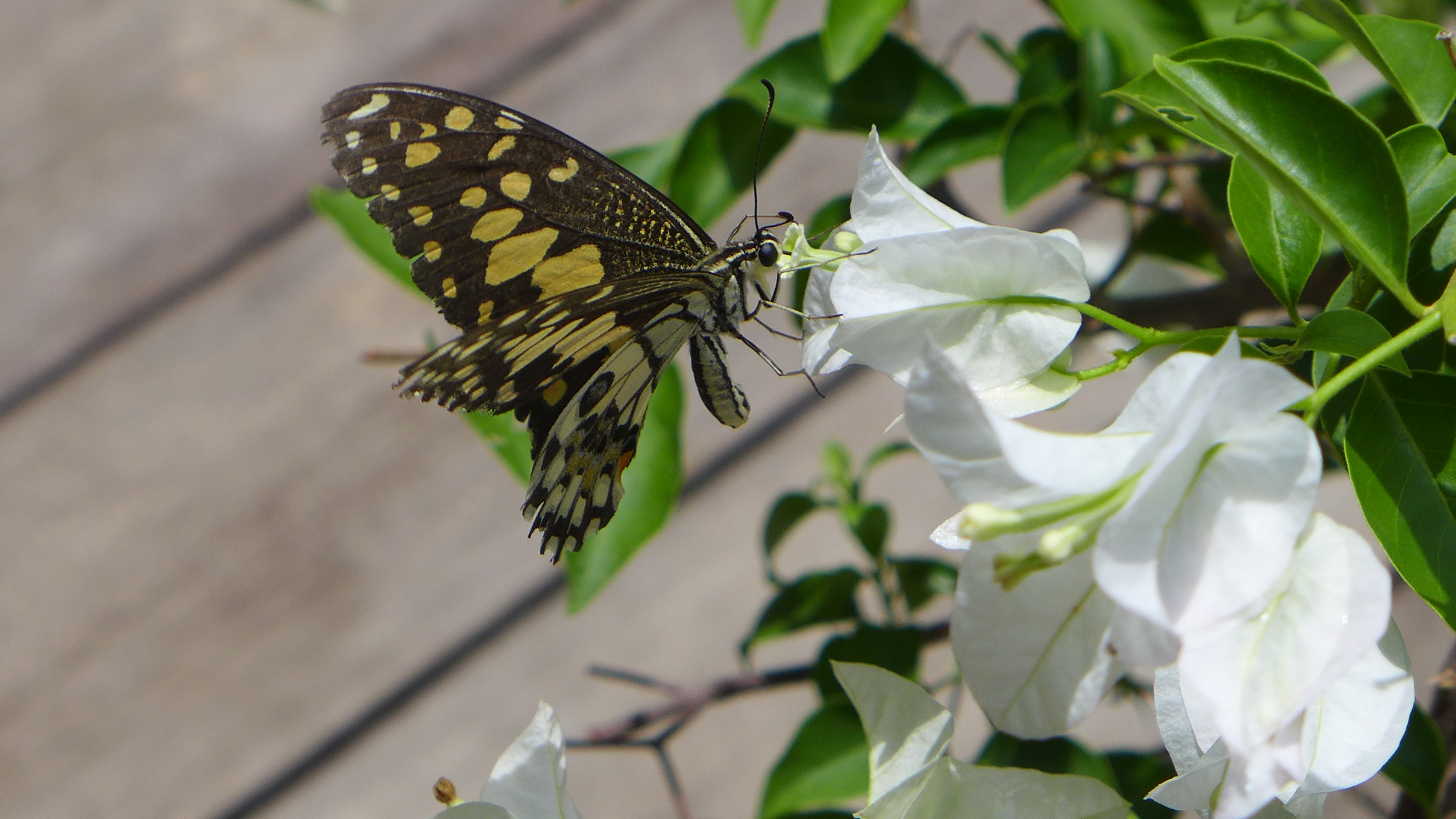 yellow and black spotted butterfly gets nectar from white flowers