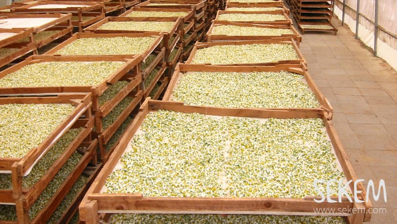 Drying chamomile for SEKEMs company Lotus.